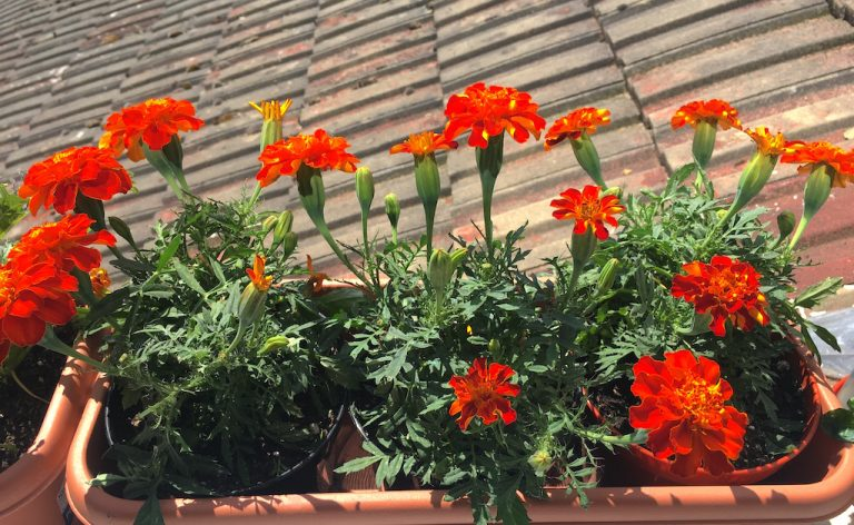 marigolds in a windowbox