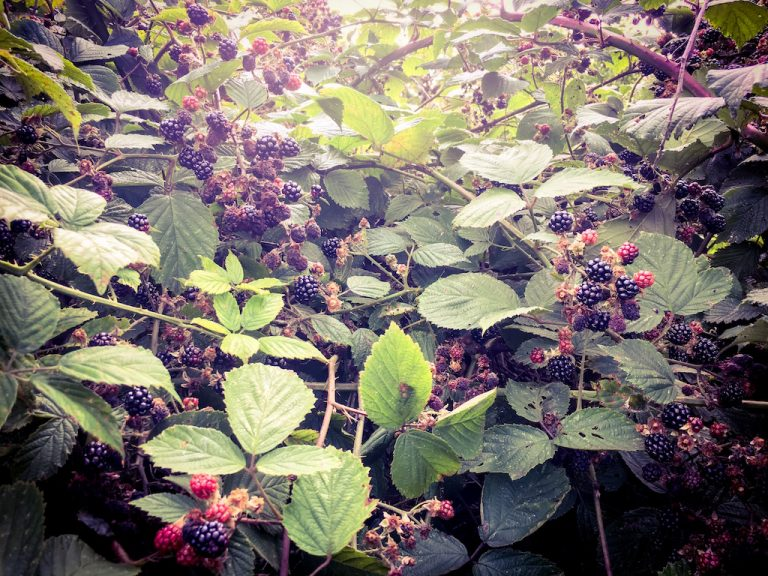 Ripe blackberries on a bush in the hedgerow