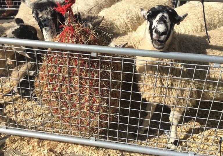 Laughing sheep at the London Sheep Drive