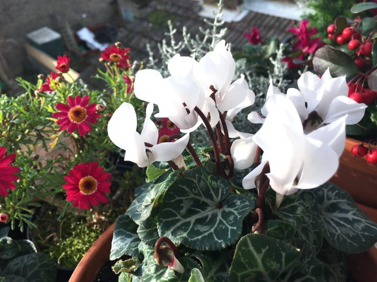 White cyclamen and pink daisies