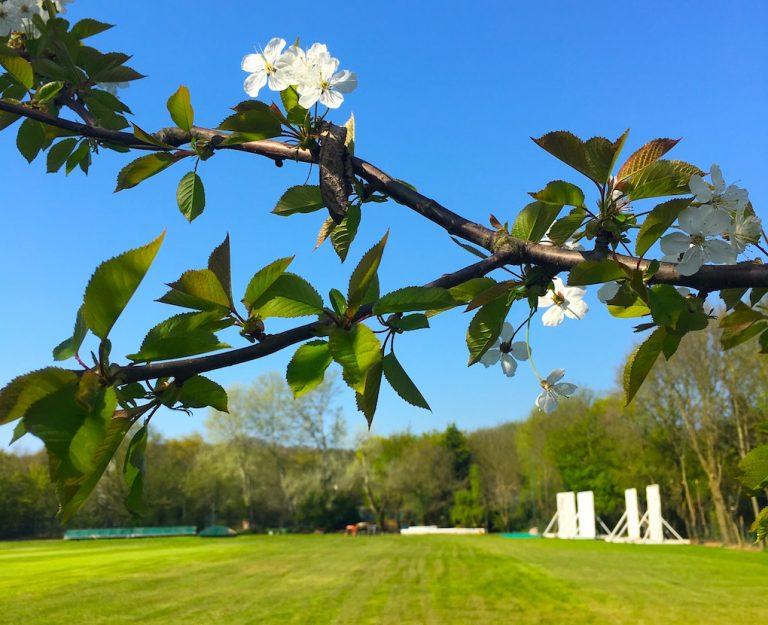 blossom next to a cricket field