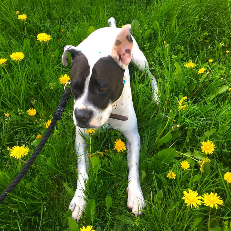 Lily among the dandelions