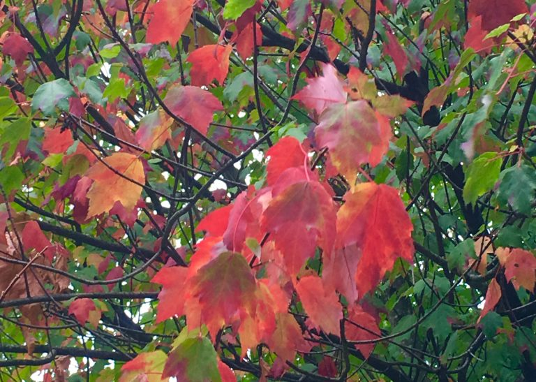 turning colours of autumn leaves